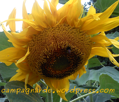 bourdon tournesol